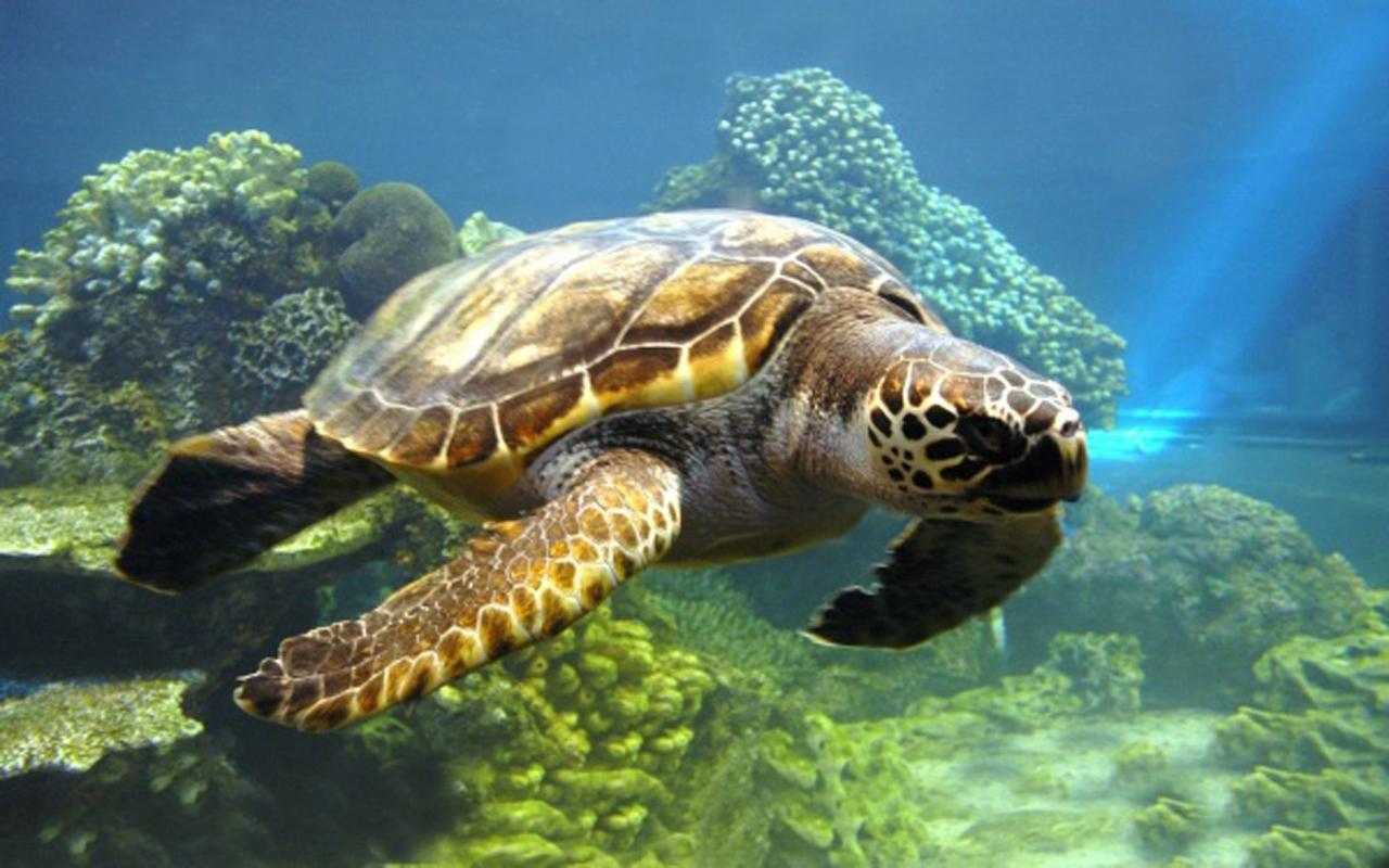 属于国家二级保护动物海龟生活于近海上层.