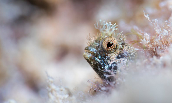 Medusa Blenny on the Lookout