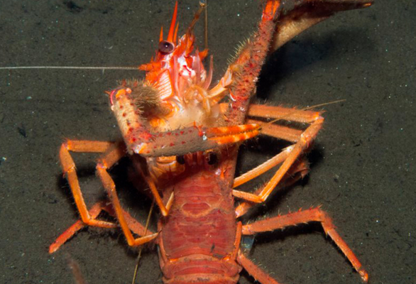Squat lobster quadrille